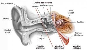 Oreille interne